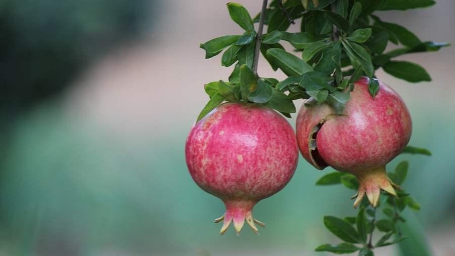 Momordica: milyen növény, termesztés és gondozás, hogyan kell enni